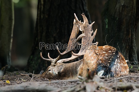 fallow deer sleeping on the ground
