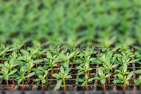 rows of potted seedlings and young