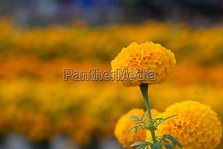 orange marigolds flower fields selective focus