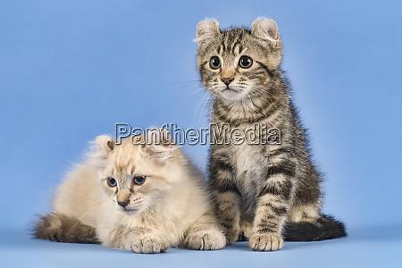 cats american curl 2019 18032