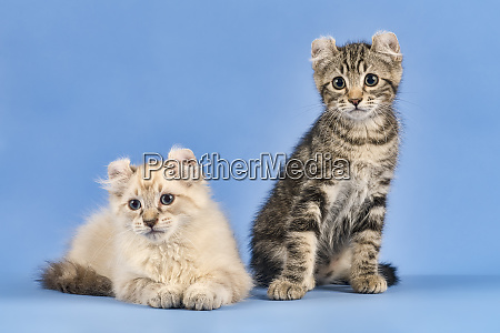cats american curl 2019 18034