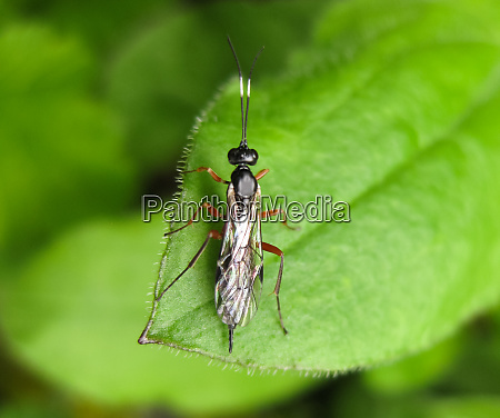 ichneumonidae a real rider hymenoptera insect
