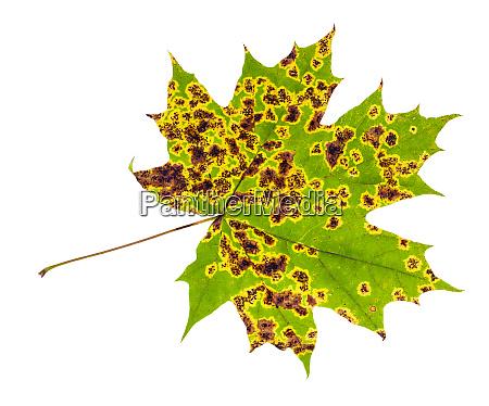 diseased leaf of maple tree isolated