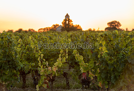 sunset over the vineyards of montagne