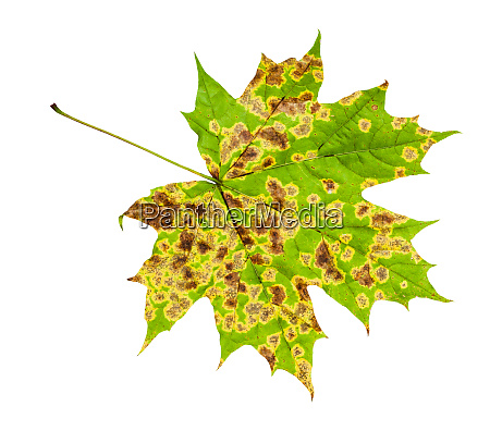 back side of diseased leaf of