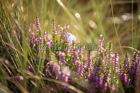 broom heath