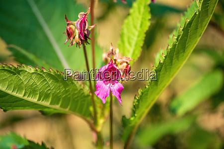indian balsam