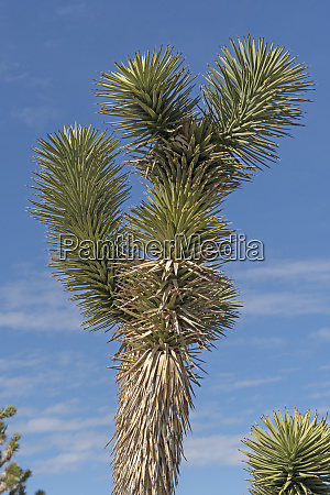 details of a joshua trees vegetation
