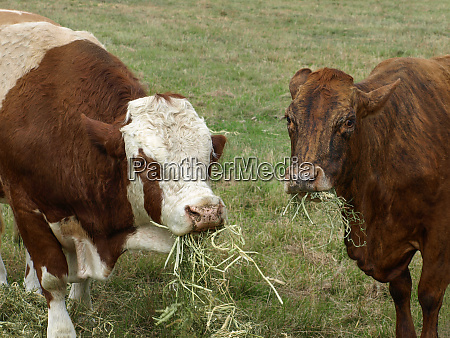 beef cattle feeding