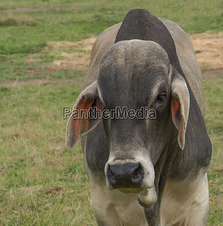 zebu brahman bull close up