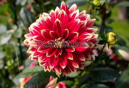 close up of blooming red dahlia