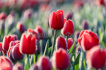 close up of red tulips in