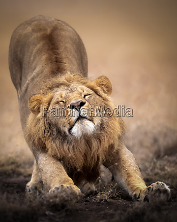 sleepy male lion stretching in the