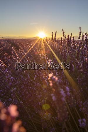 sunrise over lavender fields plateau de