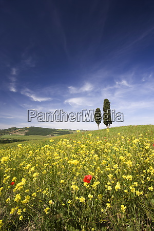 field of poppies and oil seed