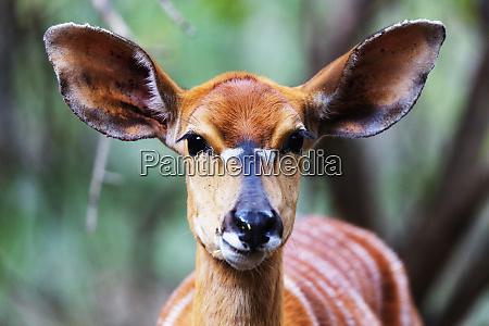 female nyala tragelaphus angasii mkhaya game