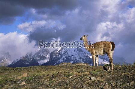 guanaco llama and cuernos del paine
