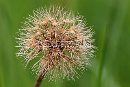 stiff haired dandelion leontodon hispidus fruit