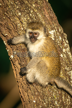 vervet monkey with catchlight clings to