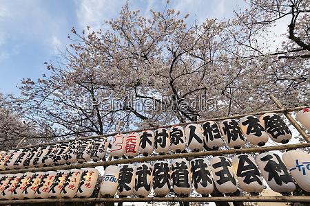 sensoji temple in cherry blossom season