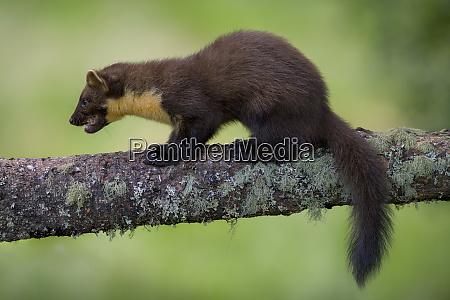 uk scotland pine marten on tree