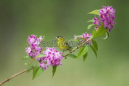 eurasian siskin on blossoming twig