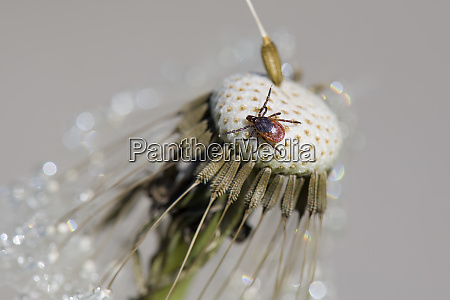 tick on dandelion head
