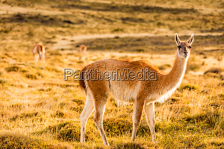 guanaco posing in the wild of