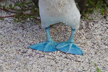 blue footed booby sula nebouxii north
