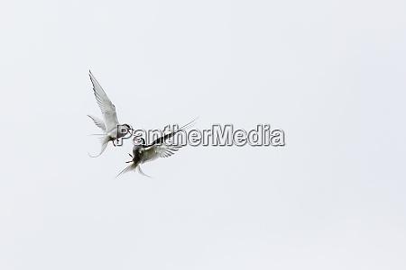 adult arctic terns sterna paradisaea in