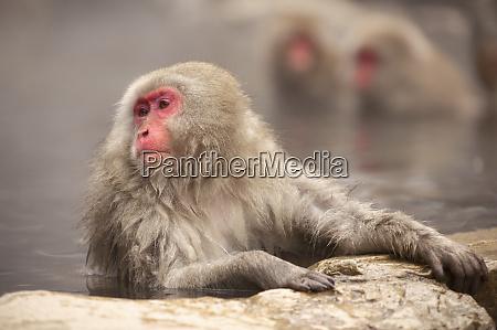 japanese macaque in hot spring jigokudani
