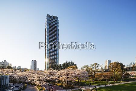 spring cherry blossom roppongi tokyo mid