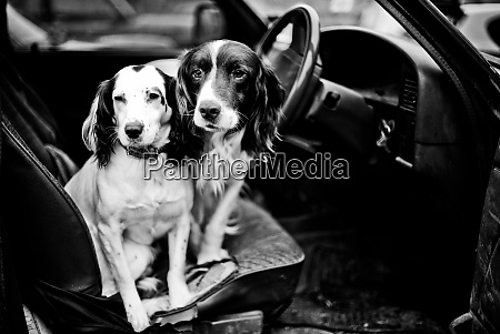 gun dogs buckinghamshire england united kingdom