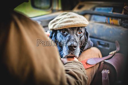 gun dog with shooting cap buckinghamshire