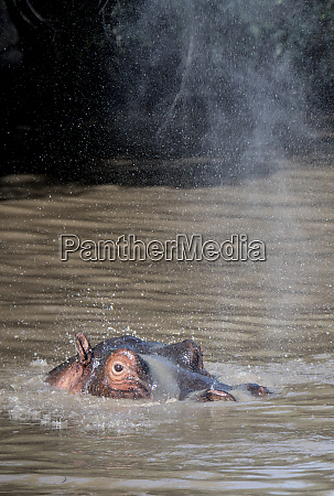 hippo spraying water in a pool