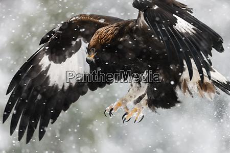 juvenile golden eagle aquila chrysaetos flying