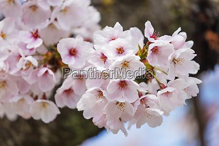 cherry blossom kyoto japan asia