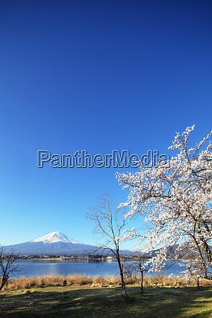 cherry blossom at kawaguchiko lake and