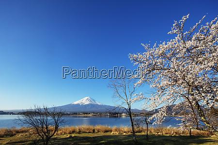 cherry blossom mount fuji 3776m unesco