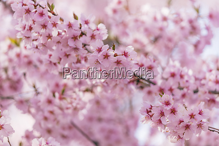 cherry blossom takato nagano prefecture honshu