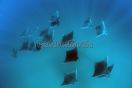eagle rays mobula hypostoma common in