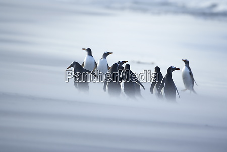 a group of gentoo penguins pygocelis