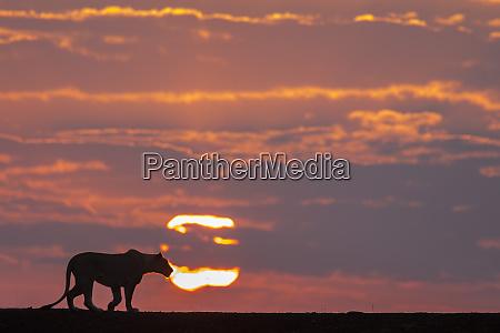 lioness panthera leo at dawn zimanga