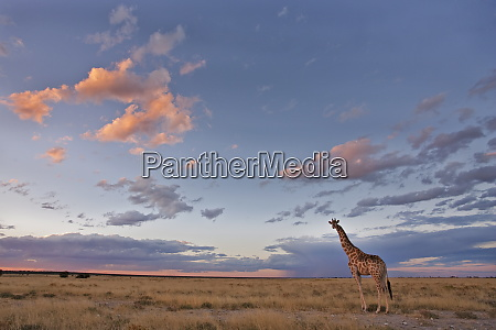 giraffe giraffa camelopardalis at dusk etosha
