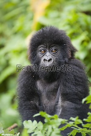 infant mountain gorilla gorilla gorilla beringei