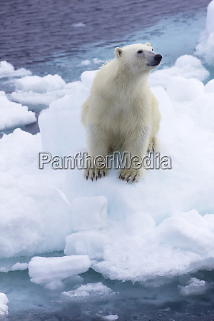 polar bear on sea ice off