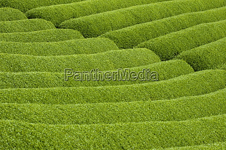 rows of green tea bushes growing
