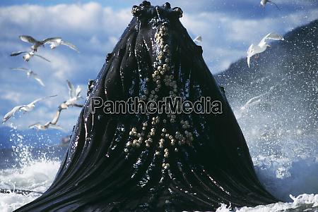 humpback whale feeding megaptera novaeangliae