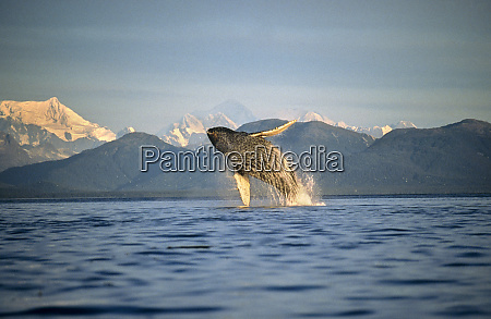humpback whale breaching icy straits south