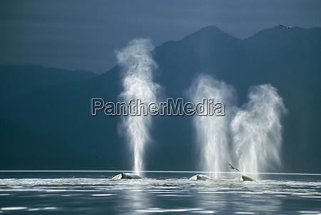 humpback whales megaptera novaeangliae blowing tenakee